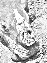 rhino poaching - a victim