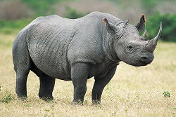 What a Rhino should look like